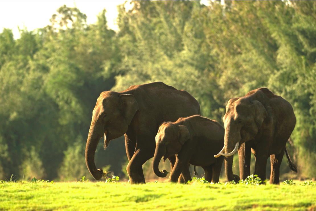 More than 5,000 Asian Elephants live in the Western Ghats. (Image from huffingtonpost.com.)